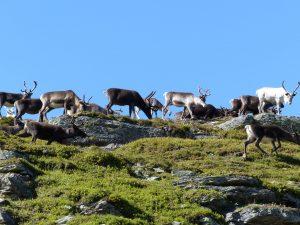 Renar på Ansätten. Foto © Rut Magnusson