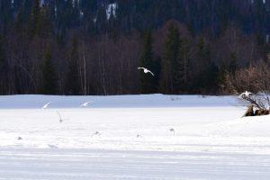 Ripor i vinterdräkt på Åkersjön en strålande vårvinterdag. Foto © flyttatillfjallen.se